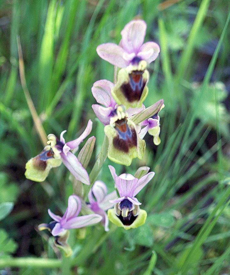 Ejemplares de orquídea en la Sierra de la Estrella