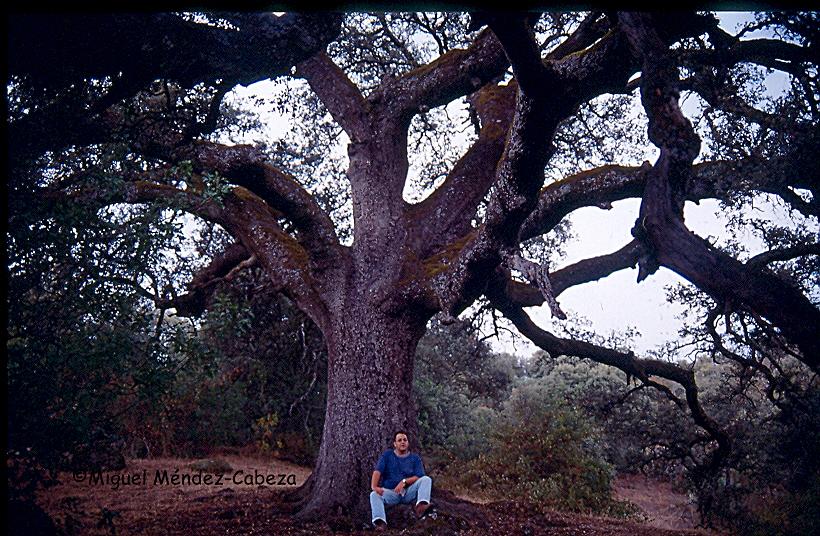Encina de El Gacho con sus enormes ramas y su copa gigantesca en La Iglesuela