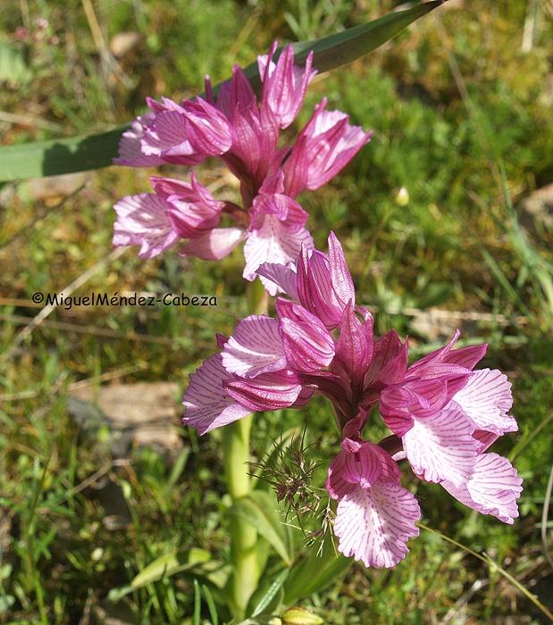 orquideas de la sierra de la estrella