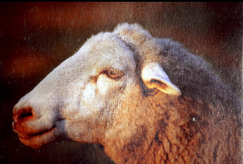 Ejemplar de oveja de raza talaverana