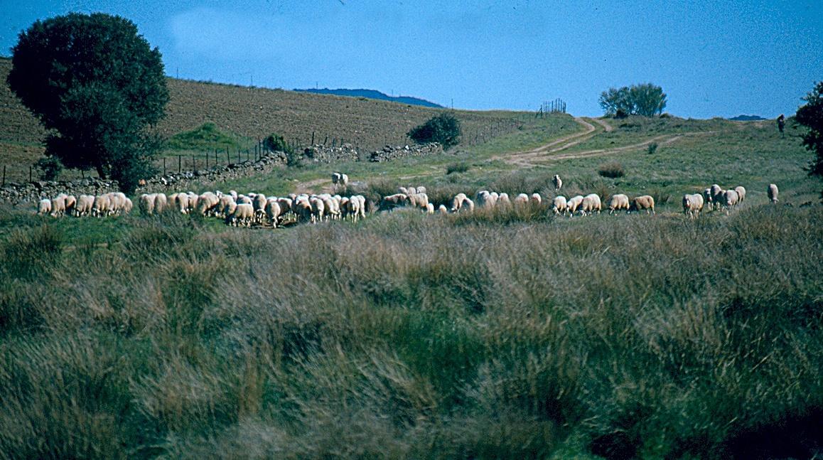 Rebaño de ovejas por la Cañada Leonesa Oriental a la altura de Aldeanueva de San Bartolomé