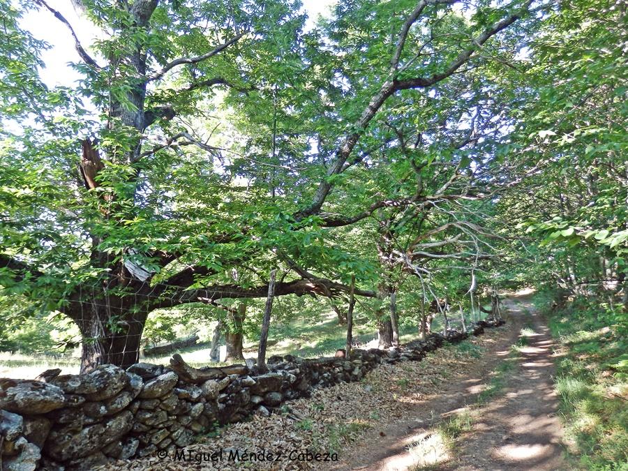 Castañares de la Sierra de San Vicente