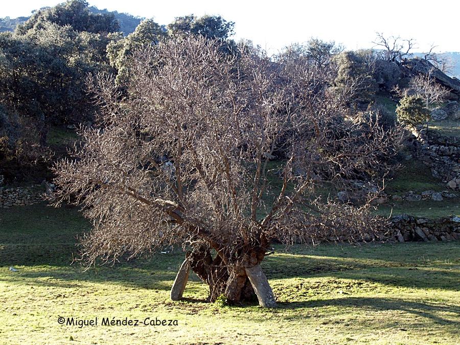 Grandes ejemplares de morales y moreras quedan todavía como resto de la antigua producción de gusano de seda en la comarca