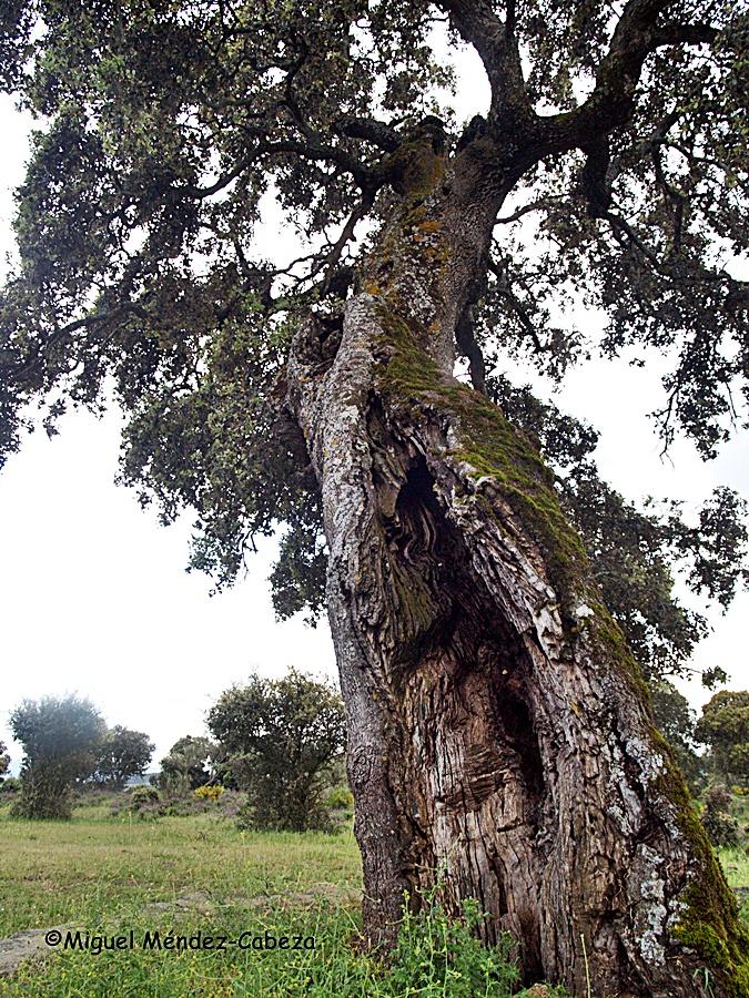 El tronco deteriorado de la encina Meregil por la extración de madera del corazón para la fabricación de badajos para los cencerros