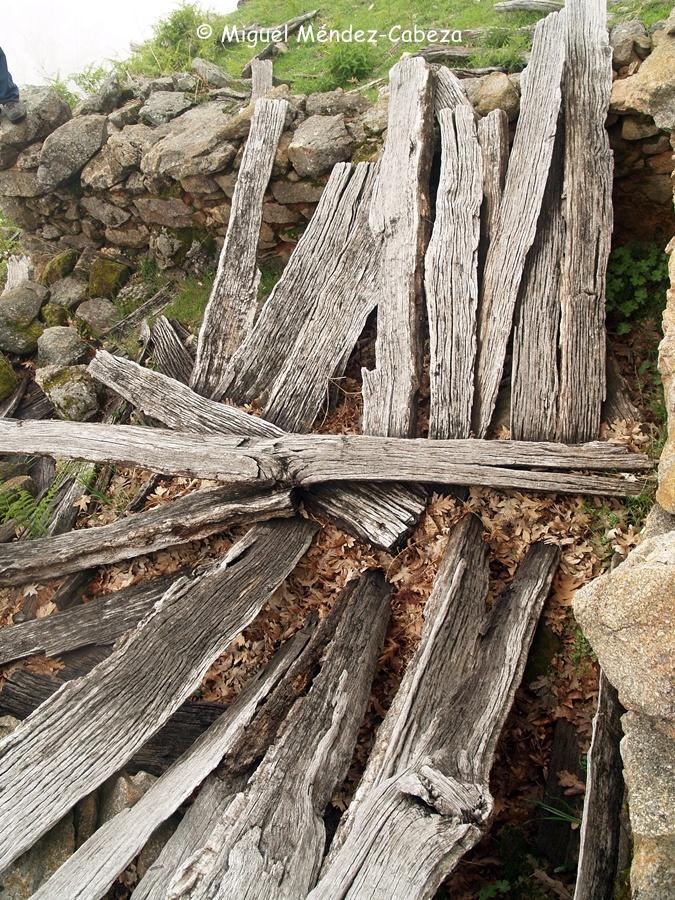 Rachones de roble en una majada en ruinas
