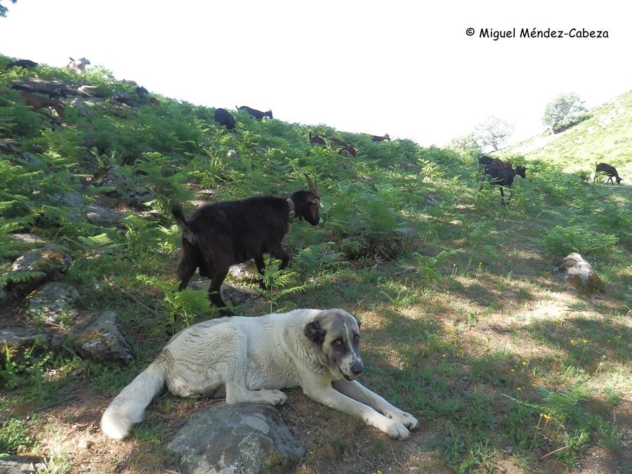 Rebaño de cabras veratas pastando en gredos