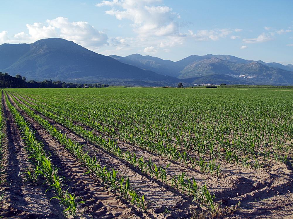 Los cultivos de regadío con espárragos y maizales comienzan a aprovechar sus aguas