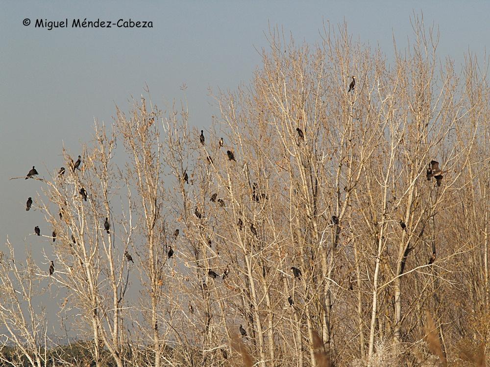 Cormoranes en las choperas del Alberche