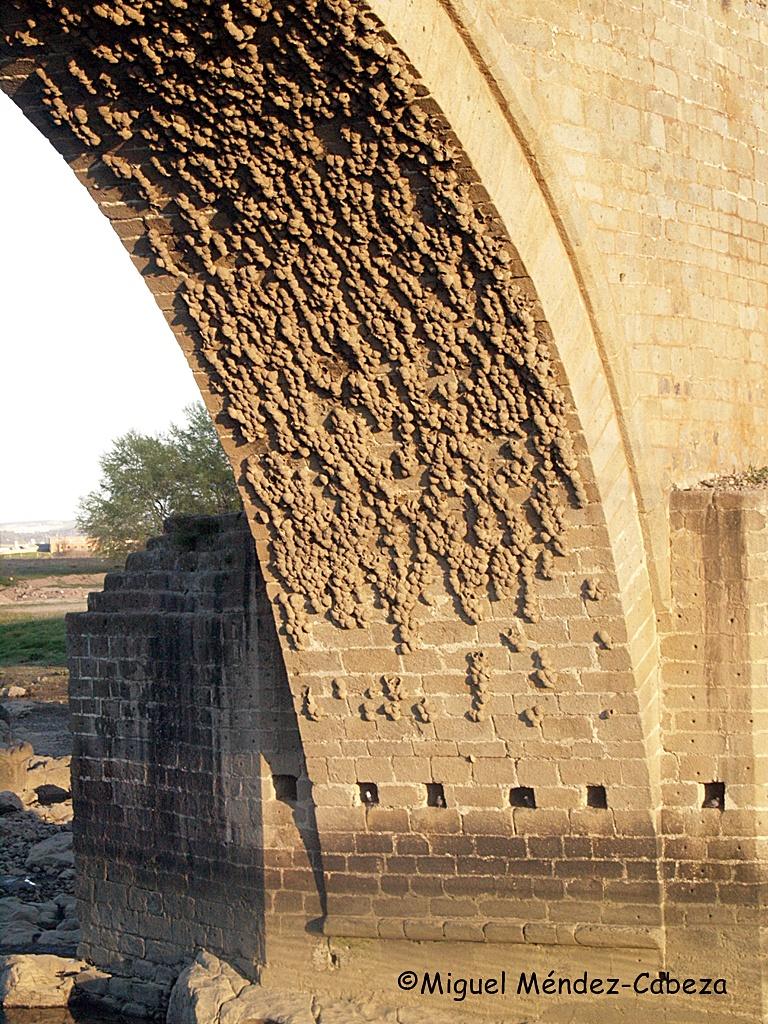 Centenares de nidos de vencejos en el arco mayor del puente del Arzobispo