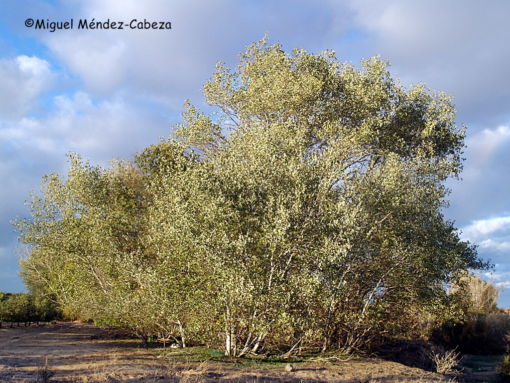 Álamos blancos, los árboles más representativos de la vegetación ribereña del Tajo
