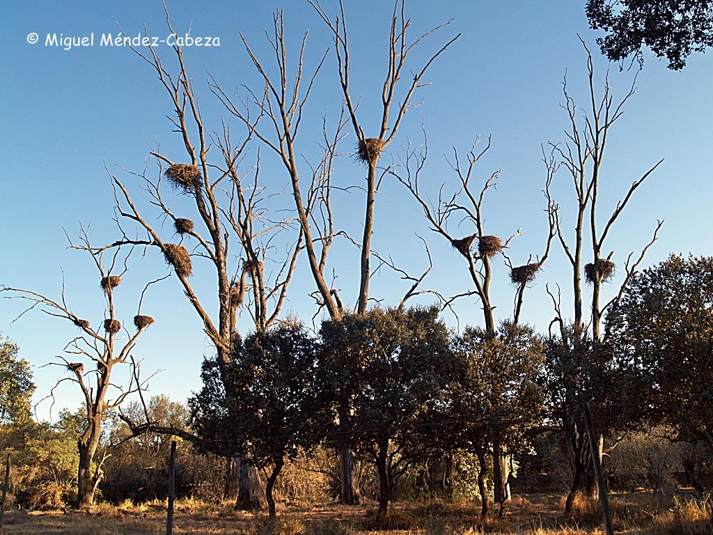 Numerosos nidos de cigüeña en La Corchuela, junto al arroyo de Alcañizo