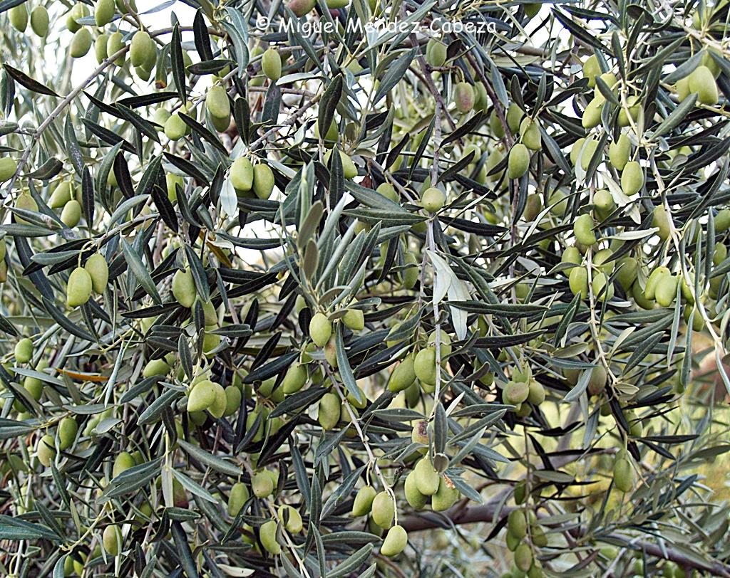 Aceitunas de los olivares jareños