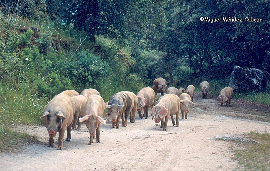 Piara de cerdos por las dehesas de la comarca
