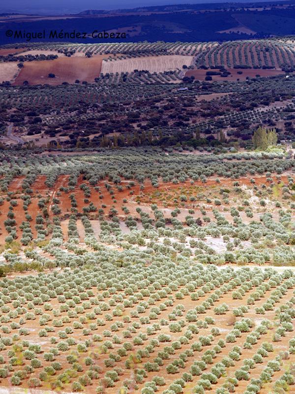 Olivares en las rañas de La Jara